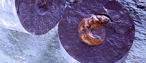 NAGRA Ammonit Leioceras opalinum
